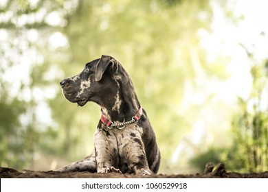 Great Dane in Profile