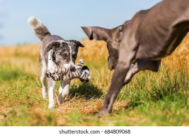 great dane puppy and australian shepherd playing on a country path
