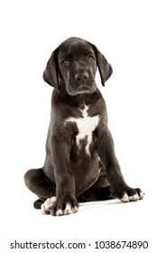 Great dane puppy isolated on white background