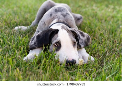 Great Dane puppy laying down in grass