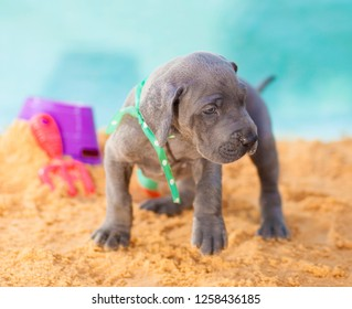 Great Dane puppy on the move across the sand