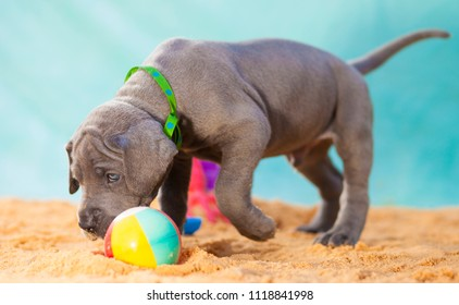 Great Dane puppy playing with a ball on the sand
