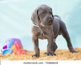Great Dane puppy purebred that looks ready to rumble on the sand