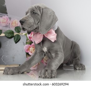 Great Dane purebred puppy on white with flowers and a chalkboard