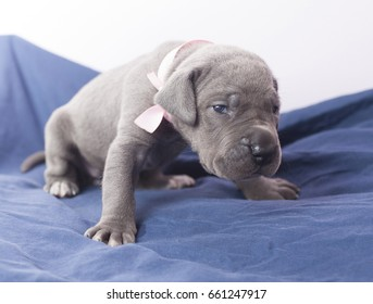 Great Dane purebred puppy that looks like it is tired of photos