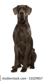 Great dane sitting in front of white background, studio shot