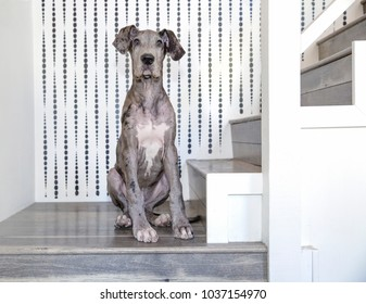 Great dane sitting on staircase