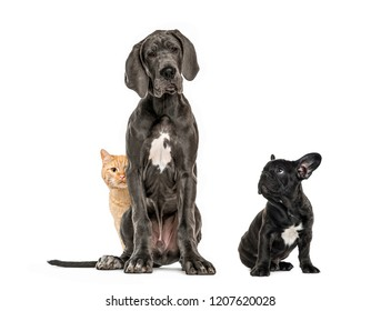 Great Dane sitting, Puppy Black French bulldog sitting and looking away, European cat sitting, in front of white background