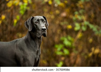 Great Dane standing in front of vegetation