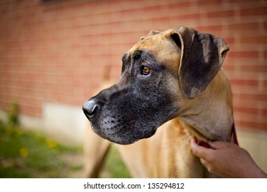 Great dane standing next to brick wall looking left