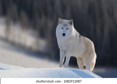 Great detail in nature. Portrait of the great white wolf close up. The great white wolf standing on the snow and watched in front of him. Evergreen trees covered with snow in the background.