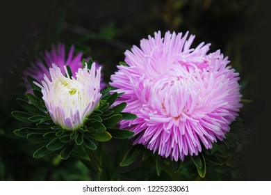 A great duo of violet asters sings a sweet summer song. Purple asters on an isolated background