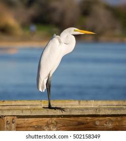 Great Egret (AKA Common Egret, Large Egret, Great White Heron) foraging. Santa Clara County, California, USA.