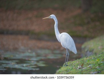 Great egret along the pond.
