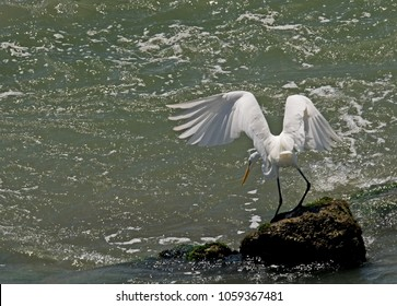 A Great Egret appears to be having second thoughts about taking the plunge into the Pacific at  Zihuatanejo, Mexico.  This bird is also known as Great White Egret, White Heron, Common Egret
