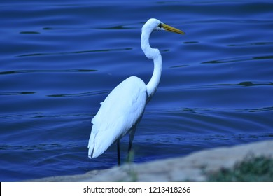 Great Egret, Ardea alba, beautiful and white against the deep blue of the lake behind it