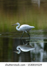 The great egret (Ardea alba) , Bird white heron playing on water