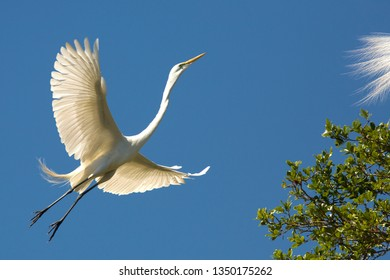 Great egret, Ardea alba, with breeding plumage, slowing for landing in a tree at a swamp in St. Augustine, Florida in springtime, against a deep blue sky.