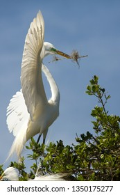 Great egret, Ardea alba, with breeding plumage, holding nest material in its bill while perched in a tree at a swamp in St. Augustine, Florida in springtime.
