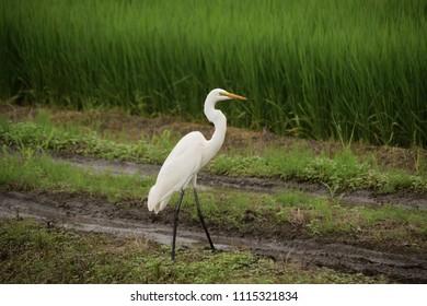 "Great egret - Ardea alba. It is called ""Shira sagi"" in Japan."