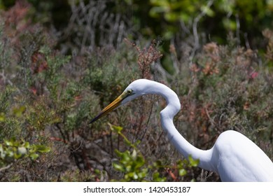 The great egret (Ardea alba) or common egret, large egret, is a large, widely distributed egret, with four subspecies in Asia, Africa, Americas and Southern Europe.