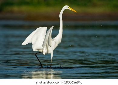 Great Egret - Ardea alba also common or large egret, great white egret or heron, widely distributed egret found in Asia, Africa, the Americas and Europe. Hunting prey in the blue ocean.