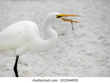 Great Egret (Ardea alba) eating a small fish that was caught in the Gulf of Mexico at St. Pete Beach, Florida