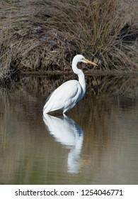 Great Egret, Ardea alba exhibiting breeding plumage hunts in a river. Also called White Egret or White Crane, one of Australias native Egrets.