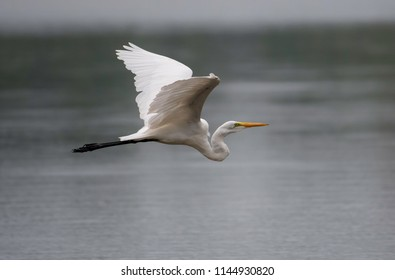 A great egret, Ardea alba, flies low over a lake, hunting for aquatic prey.