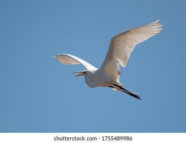 Ein großes Ego, Ardea alba, fliegt in einem klaren, blauen Himmel