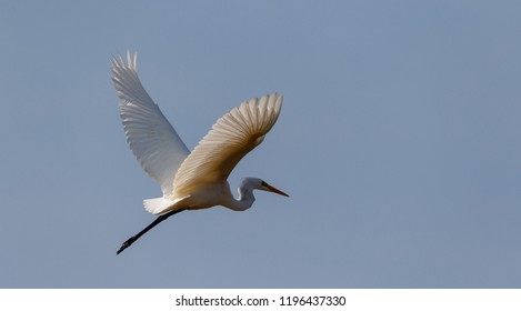 Great Egret (Ardea alba) in flight against blue sky, Podlasie Region, Poland, Europe