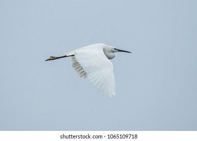 Great egret; Ardea alba, flying on the sky.