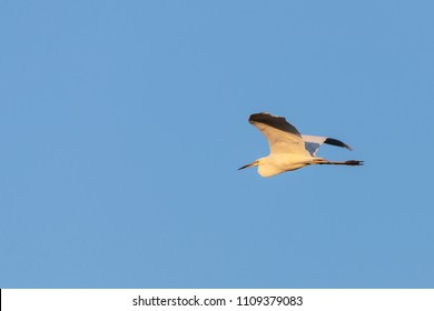 Great egret or Ardea alba, flying on the sky