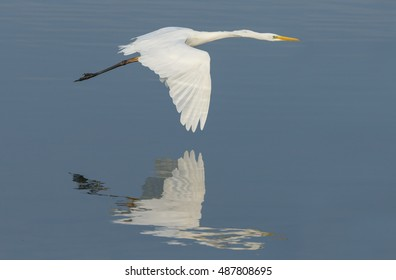 The great egret (Ardea alba) flying low over water with a reflection.