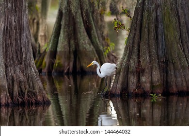 Great Egret (ardea alba) framed by huge trunks of Cypress trees.  Taken on Lake Martin, Breaux Bridge, Louisiana in the heart of Cajun Country.