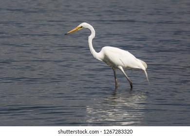 Great Egret, Ardea alba, hunting the shallows for small fish. Also called White Egret or White Crane, Australia's biggest native Egret.
