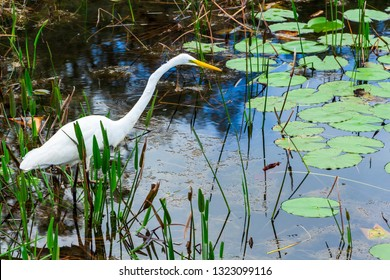 Great egret (Ardea alba) hunting in wetlands - Long Key Natural Area, Davie, Florida, USA