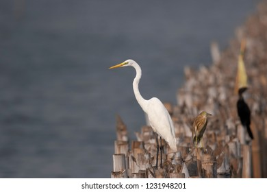 Great egret (Ardea alba), also known as the common, large egret, or (in the Old World) great white egret or great white heron. It is a large, widely distributed egret.