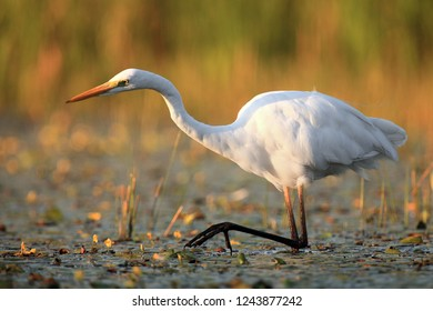 The great egret (Ardea alba), also known as the common egret  or great white heron fishing in the blooming lagoon .