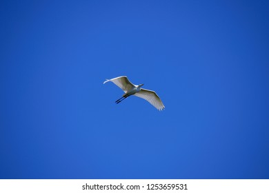The great egret (Ardea alba), also known as the common egret, large egret, great white heron. Perfectly blue sky. natural background.