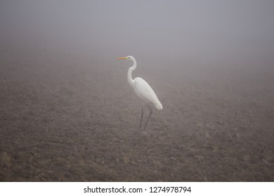 Great egret (Ardea alba), also known as the common egret, large egret, or great white heron. Standing on the field in fog.