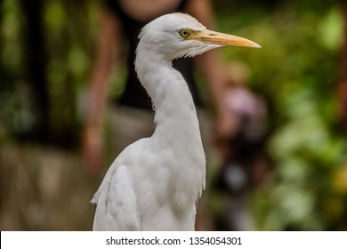 The great egret (Ardea alba), also known as the common egret, large egret, or (in the Old World) great white egret or great white heron