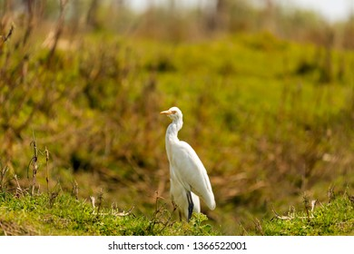 The great egret (Ardea alba), also known as the common egret, large egret, or (in the Old World) great white egret[2] or great white heron[3][4][5] is a large, widely distributed egret,