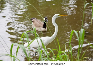 The great egret (Ardea alba), also known as the common egret, large egret, or great white egret