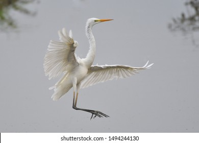 The Great Egret (Ardea alba), also known as common egret, large egret or great white heron , is a large, widely distributed egret. Distributed across most of the tropical and warmer temperate regions
