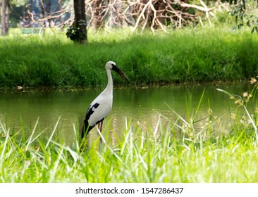 The great egret (Ardea alba), also known as the common egret, large egret, or (in the Old World) great white egret or great white heron is a large, and widely distributed