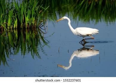 The Great Egret (Ardea alba), also known as common egret, large egret or great white heron , is a large, widely distributed egret. Distributed across most of the tropical and warmer temperate regions.