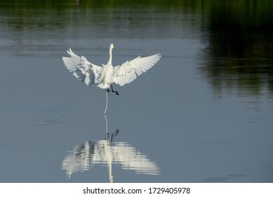 The Great Egret (Ardea alba), also known as common egret, large egret or great white heron , is a large, widely distributed egret.
