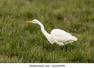 Great Egret. The Great Egret (Ardea alba), also known as the Great White Egret or Common Egret.