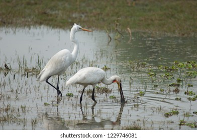 Great egret (Ardea alba) (left) and Eurasian spoonbill (Platalea leucorodia) searching for food (right). Keoladeo Ghana. Bharatpur. Rajasthan. India.